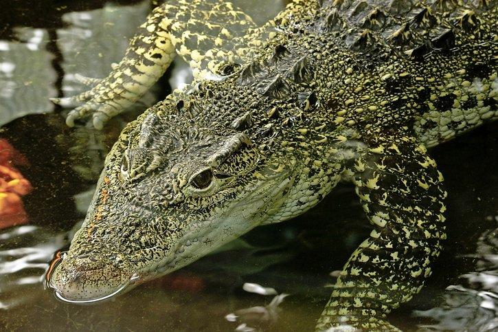 Dangereuses amours pour les crocos