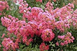 La dingue floraison du lilas d'Inde