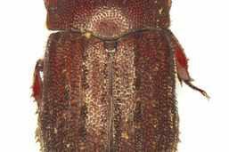 Un coléoptère rare trouvé dans la Broye